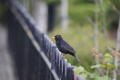 Blackbird Turdus merula. Spotted outdoors in Blessington Basin, Dublin Stock Photography