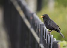Blackbird Turdus merula. Spotted outdoors in Blessington Basin, Dublin Royalty Free Stock Photography