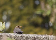 Blackbird (Turdus Merula) Stock Photos