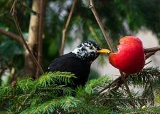 Blackbird (Turdus merula) with strange white feathers eating red apple Stock Photos