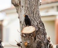 Blackbird, turdus merula. Stock Image