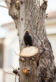 Blackbird, turdus merula. Royalty Free Stock Images