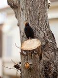 Blackbird, turdus merula. Royalty Free Stock Photos
