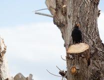 Blackbird, turdus merula. Royalty Free Stock Images