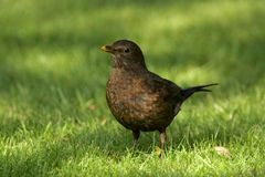 Blackbird - Turdusmerula Royaltyfri Foto