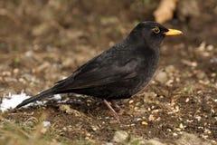 Blackbird - Turdusmerula Royaltyfri Bild