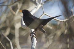 Blackbird (turdusmerula) med linssignalljuset Royaltyfri Bild