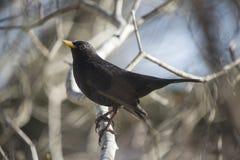 Blackbird (turdusmerula) med linssignalljuset Royaltyfri Foto