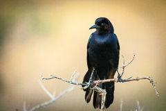 Blackbird on twig Royalty Free Stock Images