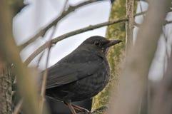 Blackbird Stock Photos