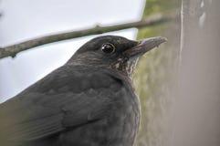 Blackbird Royalty Free Stock Photo