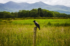 Blackbird waiting. On a post in a meadow Royalty Free Stock Photos