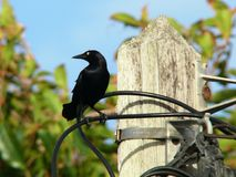 Blackbird of the West Indies Royalty Free Stock Photo