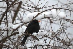 Blackbird In Winter Stock Photo