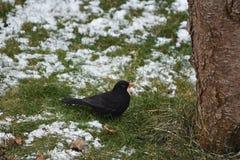 Blackbird in the winter garden Stock Photo