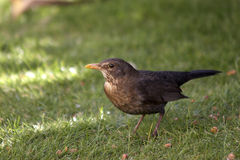 Blackbird in Winter Sunshine. A female Blackbird captured feeding on the ground in winter sunshine. Photographed in north Wales, UK Stock Images