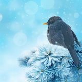 Blackbird in winter time Royalty Free Stock Images