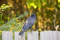 Blackbird on Wood Fence Looking at Camera Royalty Free Stock Photo