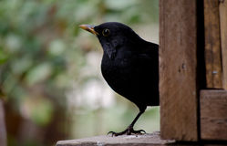 Blackbird Royalty Free Stock Image