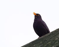 Blackbird On Wooden Structure Stock Photography