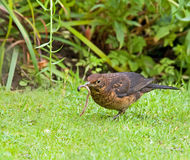Blackbird with Worm Royalty Free Stock Image