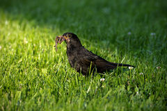 Blackbird with Worm. On grass Stock Photography