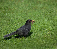Blackbird with worms Royalty Free Stock Photo