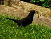 Blackbird with worms Royalty Free Stock Images