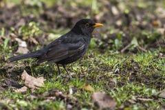Blackbird (Turdus merula) Royalty Free Stock Photo
