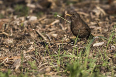 Blackbird (Turdus merula) Stock Photos