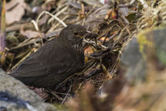 Blackbird (Turdus merula) Stock Photography