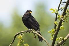 Blackbird (turdus merula) singing in a tree Stock Images