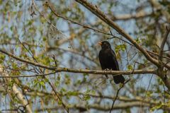 Blackbird with yellow beak perching on branch. On a sunny spring day. Blue sky and green leaves in background stock photos