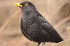 Blackbird. The blackbird (Latin: Turdus merula) is a passerine that is widespread over much of Europe and parts of Asia, Australia and New Zealand. It royalty free stock images