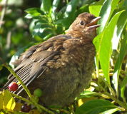 Blackbird, young, female Stock Image