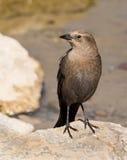 blackbirdbryggarekvinnlig s Arkivfoto