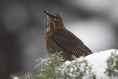 blackbirdcommon Arkivfoto