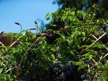 blackbirden avmaskar Fotografering för Bildbyråer
