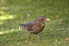 blackbirdkvinnlig arkivbild