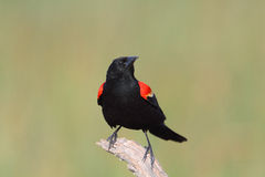 blackbirdredwing Arkivfoto