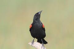 blackbirdredwing Arkivbild