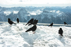Blackbirds Royalty Free Stock Photography