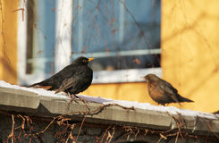 Blackbirds Royalty Free Stock Photo