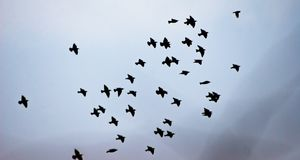 Blackbirds Royalty Free Stock Images