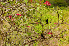 Blackbirds in a frangipani tree Royalty Free Stock Image