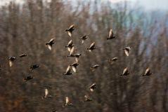 Blackbirds Stock Image