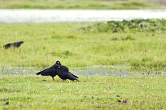 Blackbirds in a Meadow Royalty Free Stock Photography