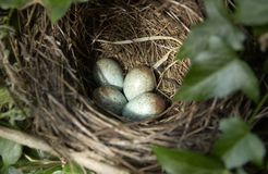 Blackbirds nest. A picture of an English Blackbird's nest with four eggs royalty free stock photography