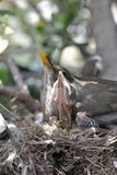 Blackbirds in the nest. Mum and sons of blackbird in the nest (focus on the chick Royalty Free Stock Photography