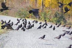Blackbirds Swallowing Stones Stock Photos
